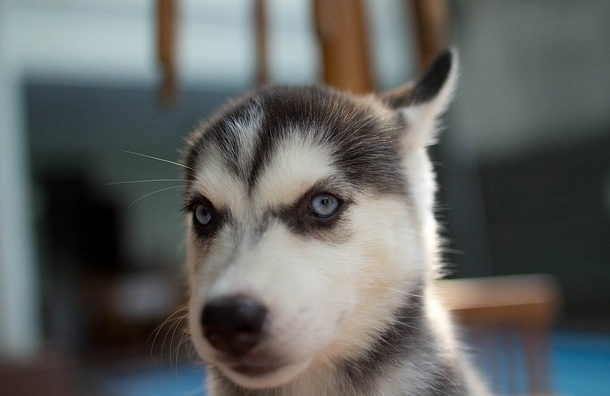В Петербурге у хозяйки отобрали щенка хаски