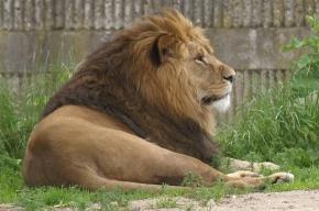 Лев загрыз львицу на глазах у посетителей польского зоопарка