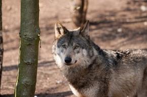 В окрестностях Парижа поселились волки