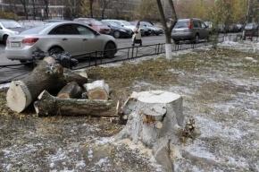 В Приморском районе вырубают полсотни деревьев