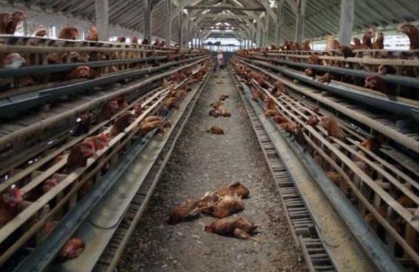 Россельхознадзор объявил об угрозе проникновения новых штаммов птичьего гриппа из КНР