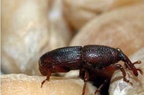Жуки и бабочки были обнаружены в бараньем горохе из Индии