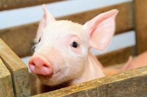 22 тонны свиных сердец, печени и языков из Швейцарии задержали в петербургском порту