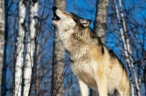 В Ростовской области волк напал на людей
