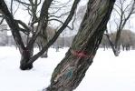 Ивы на Гражданском проспекте, все фото: Сергей Ермохин: Фоторепортаж