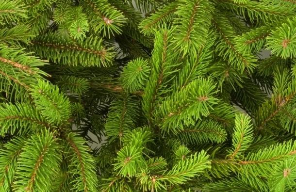 Петербуржцам помогут утилизировать новогодние елки с пользой для животных