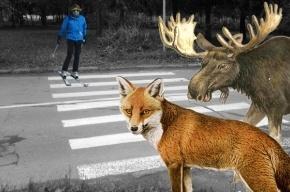 На КАД просят построить переходы для людей и животных