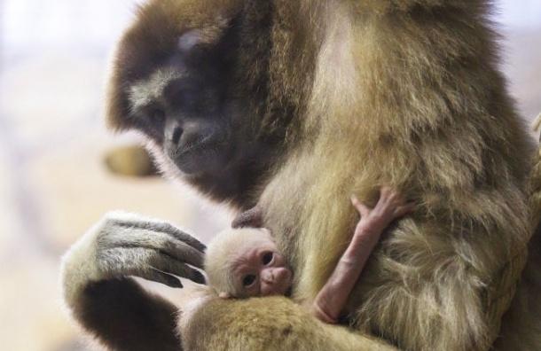 Белорукий гиббон родился в Ленинградском зоопарке