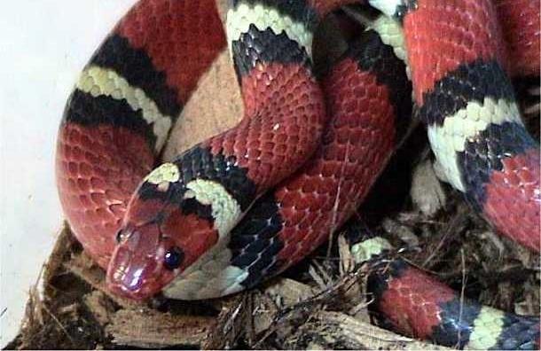 Во время перевозки в такси от петербуржца сбежала красная тропическая змея