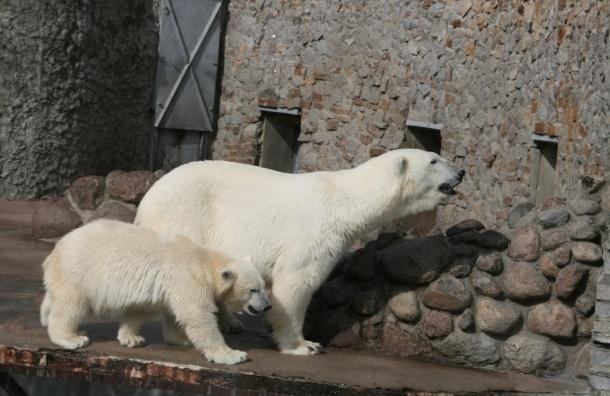 В Ленинградском зоопарке собирают подарки для белых медведей