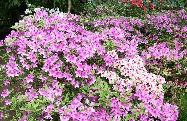 В Петербургском Ботаническом саду зацвели азалии