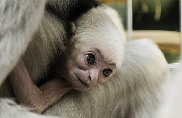 В Ленинградском зоопарке в семействе белоруких гиббонов Персея и Габины появился детеныш