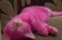 Котенок Лены Лениной, перекрашенный в розовый, умер от интоксикации