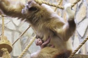 С помощью голосования в Ленинградском зоопарке выберут имя новорожденному гиббону