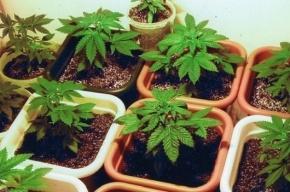 28 кустов марихуаны вырастил в съемной квартире петербуржец