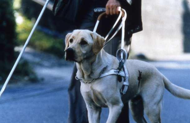 В Петербурге появится центр по обучению собак-поводырей