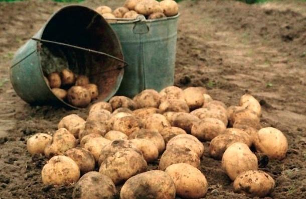 Чиновникам Москвы, попавшим под сокращение, предложили перебирать картошку