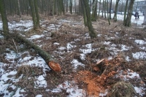 В Александрино незаконно вырубают деревья