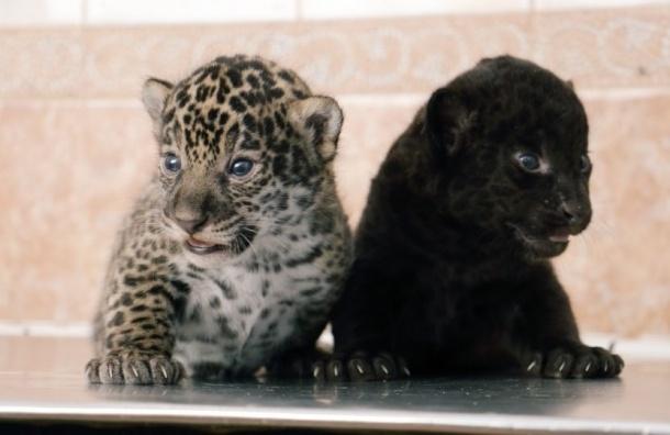 В Ленинградском зоопарке у пары ягуаров появились котята
