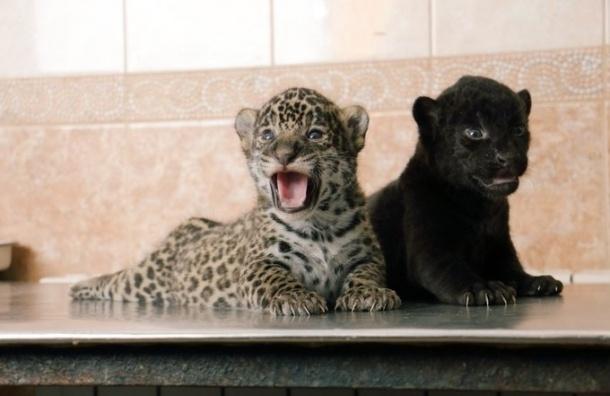 Детеныши ягуара в Ленинградском зоопарке получили имена
