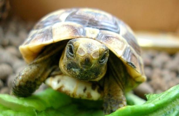 В зоомагазинe в Петербурге нашли редких среднеазиатских черепах