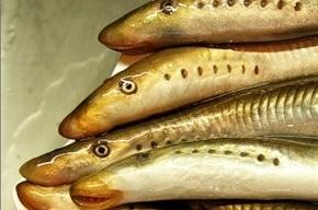 Задержаны браконьеры, вылавливавшие миногу в акватории Невы