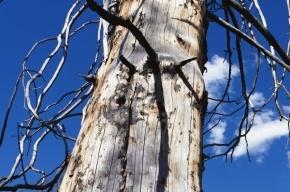В Кировском районе на пожилую петербурженку упало дерево