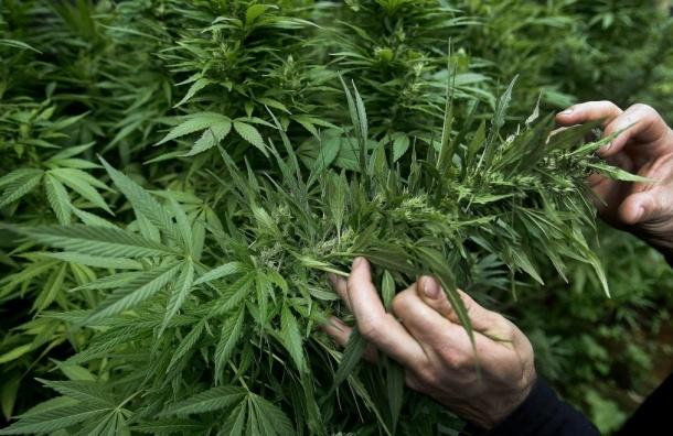 На Туристской улице наркополицейские нашли плантацию марихуаны