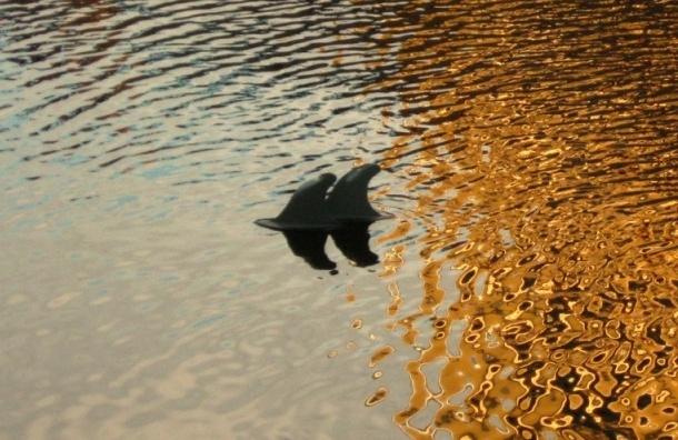 В воде канала Грибоедова заметили двух влюбленных дельфинов