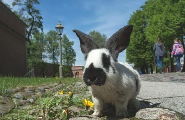 Петропавловскую крепость заселят кроликами