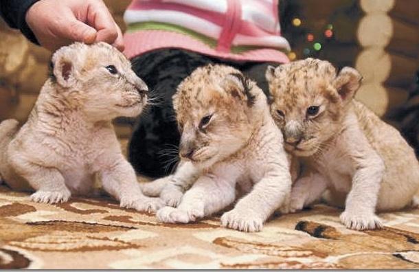В Петербурге на автостоянке нашли клетку с львятами