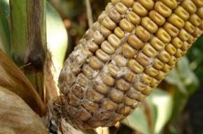 20 тонн американской кукурузы, прибывшей в Петербург, отправили на переработку