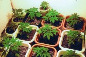 Житель Ленобласти выращивал в своем таунхаусе марихуану