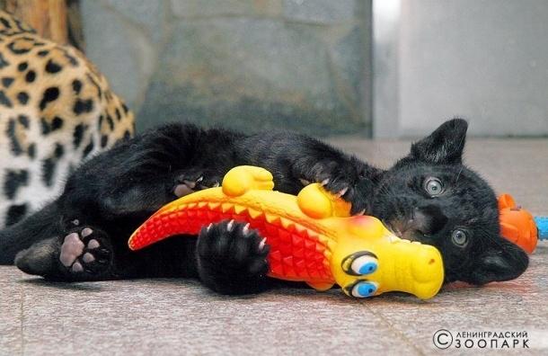 Ленинградский зоопарк собирает игрушки для детенышей ягуара
