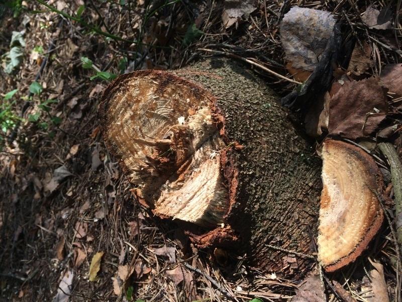 На берегу озера Красавица вырубают деревья