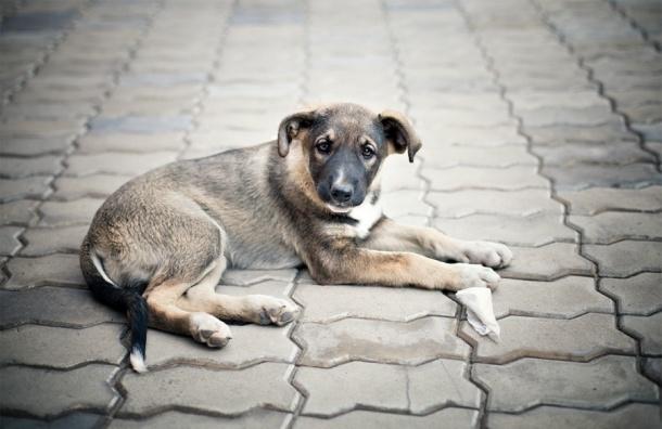 В Шушарах проведут пикет против массовой травли собак