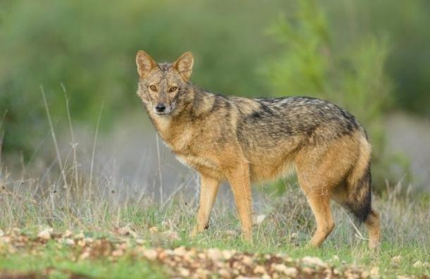 Ученые выделили новый вид волка из семейства псовых