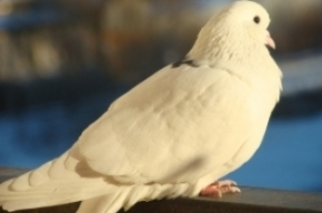 Петербуржцев просят не подкармливать голубей из-за опасности заражения