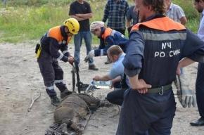 Спасатели достали дикого кабана из тепловой шахты в Петербурге