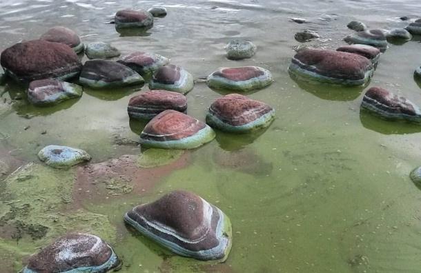 Вода Финского залива изменила свой цвет из-за водорослей