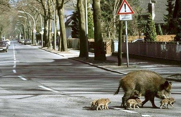 Кабаны бегут в Петербург из-за африканской чумы свиней, спасаясь от охотников