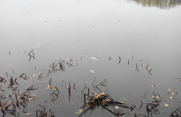 Рыба всплыла в Охтинском разливе