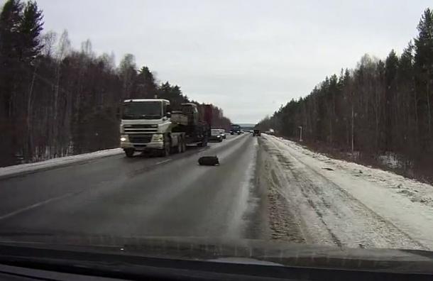 Поросенок на пути из Екатеринбурга выпрыгнул из багажника авто на скорости 100 км/ч