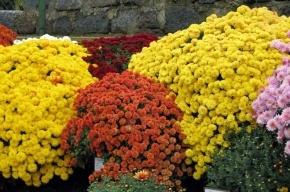 Хризантемы с насекомыми уничтожили под Петербургом
