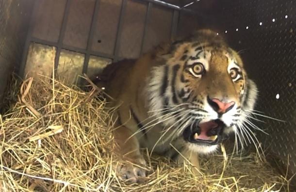 Двух амурских тигров убили в Приморье, чтобы сделать из них настойку