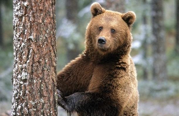 Разбуженный медведь растерзал охотника в Красноярском крае
