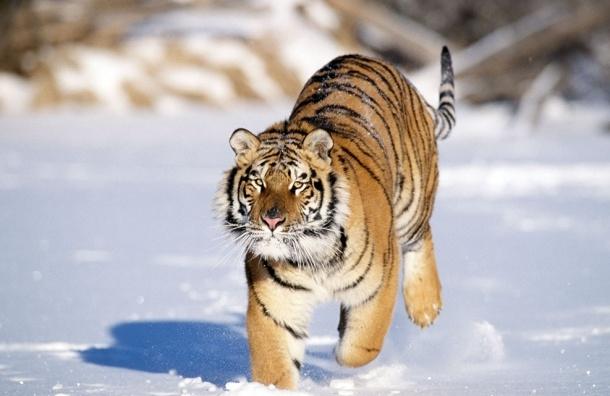 Пенсионер застрелил амурского тигра, который пытался загрызть его