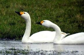 Убившего двух лебедей в Ленобласти хотели отпустить