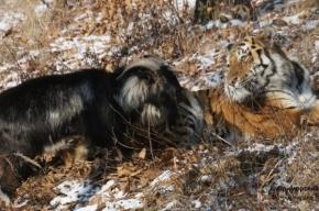 Козла Тимура разлучили с тигром Амуром