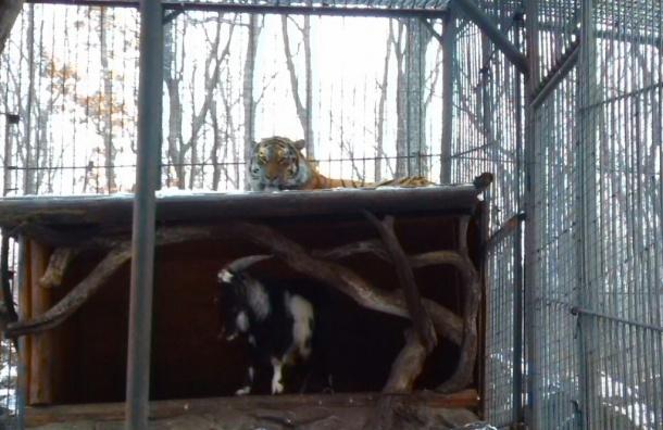 Смелый козел Тимур заставил амурского тигра ночевать на крыше